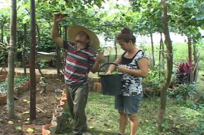 Cosecha de uvas en Consolación del Sur